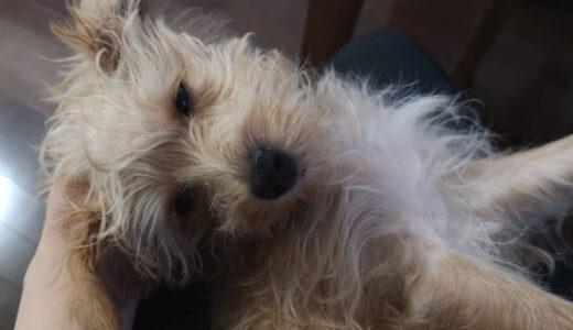 犬が飼い主の膝の上で寝る理由は?甘えているの?