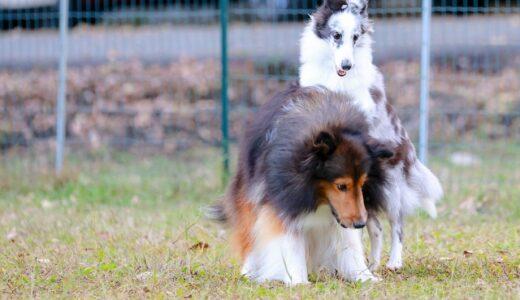 メス犬が飼い主にマウンティングする意味と対処方法について。