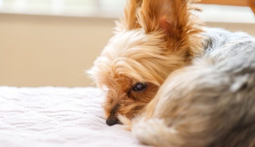 【子犬】初めてのヒート(生理)。前兆、ヒート中の行動や注意点について。